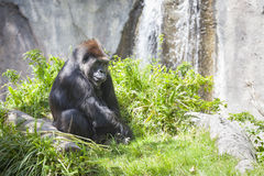 Relaxed Western Lowland Gorilla Stock Photography