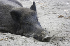 Relaxed wild boar Royalty Free Stock Photos