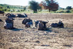 Relaxed Wildebeest Royalty Free Stock Photography