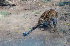 Relaxed young leopard Royalty Free Stock Image