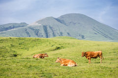 Relaxes cows Royalty Free Stock Photography