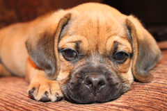 Relaxing. Puggle laying down on a couch Stock Photos