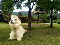 Relaxing Alpaca at SuanPhueng, Ratchaburi, Thailand royalty free stock photography