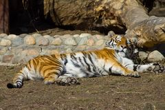 Relaxing amur tigress. Young amur tigress (Panthera tigris altaica) in the Moscow zoo Royalty Free Stock Images