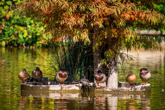 Relaxing in the autumn sun. Six ducks and a turtle relaxing in the autumn sun Stock Photo