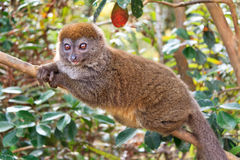 Relaxing bamboo lemur Royalty Free Stock Photos