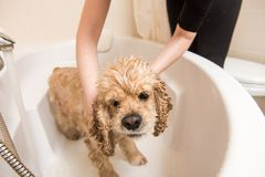 Relaxing bath foam to american cocker spaniel. Dog is taking a shower at home stock images