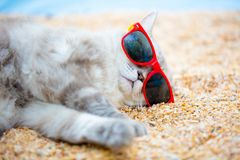 Сat relaxing on the beach. Сat wearing sunglasses relaxing on the beach Royalty Free Stock Photo