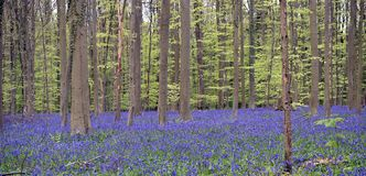 Bluebells in forest royalty free stock photos
