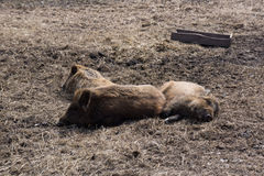 Relaxing boars Royalty Free Stock Photos