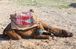 Relaxing camel Stock Images