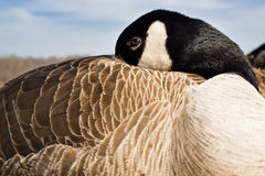 Relaxing Canadian Goose Royalty Free Stock Photo