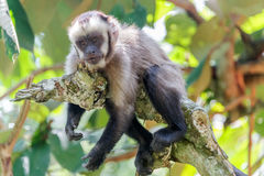 Relaxing Capuchin Monkey Royalty Free Stock Image