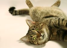 Relaxing Cat Royalty Free Stock Photo
