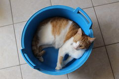 Relaxing cat. Ginger-white cat relaxing in a blue basket royalty free stock images