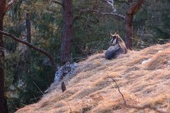 Relaxing chamois buck in the tyrolian alps stock photo