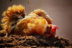 Relaxing of chicken hen lying in dirt soil against beautiful sun Stock Images