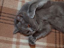 Relaxing on the couch gray cat Royalty Free Stock Photography