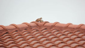 Relaxing Couple Zebra Dove On Red Roof stock video footage