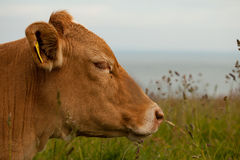 The relaxing cow. The cow have relax on meadow Royalty Free Stock Photos