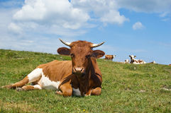 Relaxing Cow in the Pasture Royalty Free Stock Photography