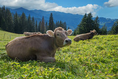 Relaxing cows on a pasture in switzerland Royalty Free Stock Image