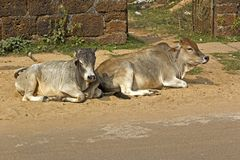 Relaxing cows Royalty Free Stock Photos