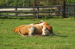 Relaxing cows. White and brown cows lying and relaxing on the meadow royalty free stock photos