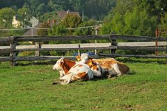 Relaxing cows. White and brown cows lying and relaxing on the meadow stock photo