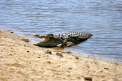 Relaxing Crocodile on a water hole Royalty Free Stock Photography