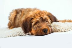 Relaxing cute puppy on fur. Relaxing cute briard puppy french shepherd on white sheep fur on white background Royalty Free Stock Photos