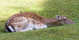 Relaxing Deer Stock Image