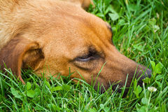 Relaxing dog royalty free stock image