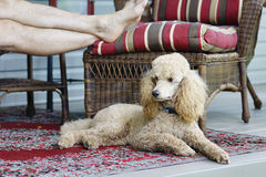 Relaxing on a Dog Day Afternooon Royalty Free Stock Photo