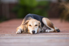 Relaxing Dog. Dog resting comfortably and stare Royalty Free Stock Photos