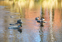 Relaxing ducks. Some  mallard ducks having rest on the stones in the river with nice reflections on the water surface Royalty Free Stock Photos