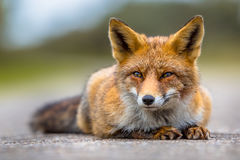 Relaxing European red fox lying on the ground Stock Photos
