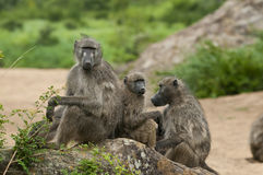 A relaxing family of baboons. A relaxing family of three baboons sitting on a rock in a riverbed on an overcast day in the Kruger National Park, South Africa Stock Image