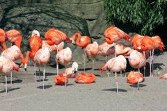 Relaxing flamingos. Very relaxed flamingos in a park Stock Image