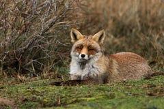 Relaxing Fox Stock Photo
