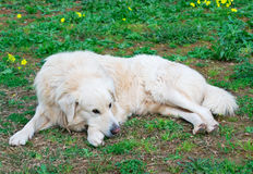 Relaxing in the garden. White dog relaxing in the garden Royalty Free Stock Photo