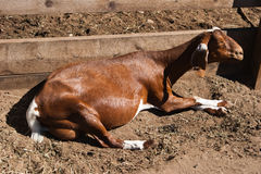Relaxing goat sunbathing. A brown and white goat lying down in its pen relaxing in the sunshine Royalty Free Stock Photo