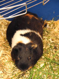 Relaxing guinea pig Stock Photography