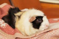 Relaxing guinea pig Stock Photos