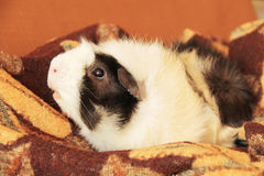 Relaxing guinea pig Stock Images