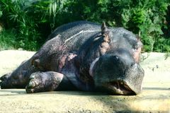 Relaxing hippopotamus Stock Photo