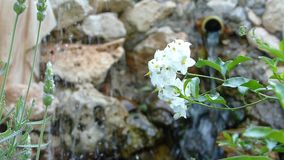 A relaxing italian pond with a white flower. On a little blur waterfall background stock video