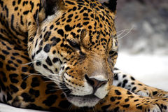Relaxing jaguar Royalty Free Stock Photos