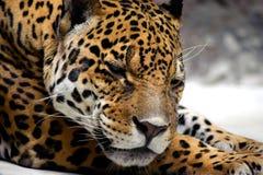Relaxing jaguar Royalty Free Stock Photos