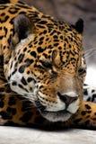 Relaxing jaguar. Close-up portrait Royalty Free Stock Photos